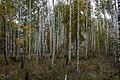 Березовая роща - Birch forest - panoramio (1).jpg