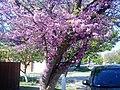 Бульварная ул. Цветущее Иудино дерево или Церцис европейский (лат. Cercis siliquastrum). - panoramio.jpg