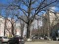 Віковий дуб на вулиці Михайла Омеляновича-Павленка 02.jpg