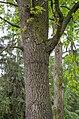 Віковий дуб у Чернігові (без охоронної таблички).jpg