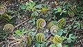 Люцерна округлая - button clover - Medicago orbicularis- Scheiben-Schneckenklee (16491158606).jpg