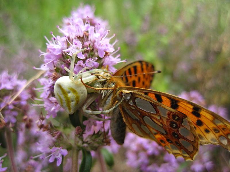 File:Пеперуга плен на пајак (4).JPG
