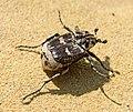 Пестряк коротконадкрылый - Valgus hemipterus - Stolperkäfer (34223306194).jpg