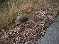 Средиземноморская черепаха - Testudo graeca - Greek tortoise - Шипобедрена костенурка - Maurische Landschildkröte (18107660343).jpg