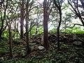 Тисовая роща на острове Петрова.jpg