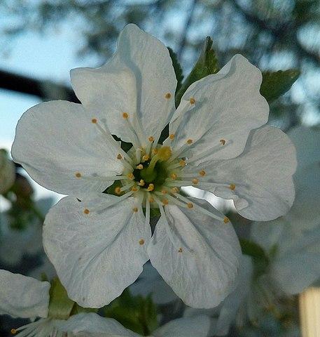 Цветок черешни с шестью лепестками