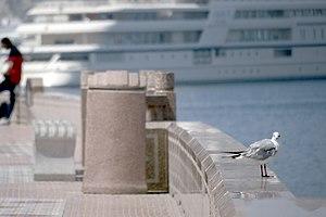 رفتار مرغان دریایی نوروزی یا یاعو در کشور عمان، شهر مسقط، ساحل دریای عمان - عکس مصطفی معراجی 09.jpg