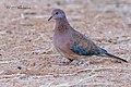 طيور منطقة المغير يمامة الغابة tourterelle des bois.jpg