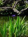 二二八公園的鳶尾 Iris in 228 Park - panoramio.jpg
