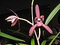 四季暮山紫 Cymbidium ensifolium -香港沙田國蘭展 Shatin Orchid Show, Hong Kong- (12167558995).jpg