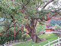 夸张的樟树 - panoramio.jpg
