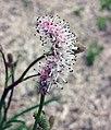 小白花地榆 Sanguisorba parviflora -比利時 Ghent University Botanical Garden, Belgium- (9229880752).jpg