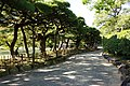 屏風松 Screen Pines - panoramio.jpg
