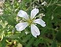 捲耳屬 Cerastium decalvans -波蘭 Krakow Jagiellonian University Botanic Garden, Poland- (36813569875).jpg