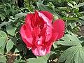 日本牡丹-初烏 Paeonia suffruticosa Hatsugarasu -武漢植物園 Wuhan Botanical Garden- (12427795975).jpg