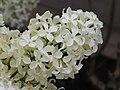歐洲丁香 Syringa vulgaris -荷蘭 Keukenhof Flower Show, Holland- (9216102000).jpg