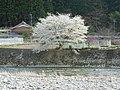 浦河の桜.jpg