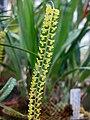 石斛蘭屬 Dendrobium filiforme -波蘭 Krakow Jagiellonian University Botanic Garden, Poland- (36687352436).jpg
