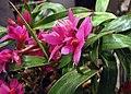 石斛蘭 Dendrobium Hibiki -香港沙田洋蘭展 Shatin Orchid Show, Hong Kong- (30671085023).jpg