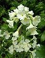 紫鐘報春 Primula waltonii -溫哥華哥倫比亞大學植物園 UBC Botanical Garden, Vancouver- (9252382541).jpg