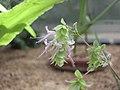 苦牛至 Origanum dictamnus -牛津大學植物園 Oxford Botanic Garden- (9240225416).jpg