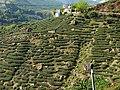 茶園 Tea gardens - panoramio.jpg