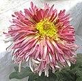 菊花-雀舌型 Chrysanthemum morifolium Bird-tongue-tubular-series -香港圓玄學院 Hong Kong Yuen Yuen Institute- (9207627016).jpg