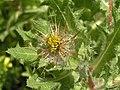 藏掖花(聖薊) Cnicus benedictus -阿姆斯特丹植物園 Hortus Botanicus, Amsterdam- (9213338729).jpg