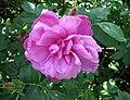 重瓣玫瑰 Rosa rugosa -波蘭華沙 Powsin PAN Botanical Garden, Warsaw- (9237442737).jpg