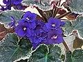非洲紫羅蘭 Saintpaulia Tiger -香港北區花鳥蟲魚展 North District Flower Show, Hong Kong- (24149103675).jpg