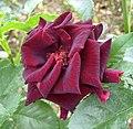 黑玫瑰 Rosa hybrid -杭州花圃 Hangzhou, China- (17819304789).jpg