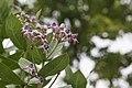 -68 100 Crown Flower - Calotropis gigantea (50379489791).jpg