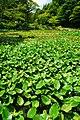 170811 Rokko Alpine Botanical Garden Kobe Japan10s3.jpg