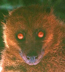 A headshot of a bat with orangish-brown fur looking directly at the camera. Its eyes are piercingly orange.