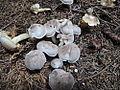 2013-10-13 Tricholoma scalpturatum (Fr.) Quél 375331.jpg