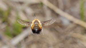 Bombylius - Bombylius discolor flying
