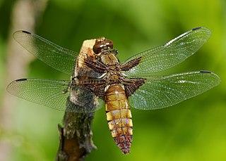 Vážka ploská (lat. Libellula depressa) - samička