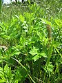 20130527Artemisia vulgaris.jpg