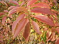 2014-10-29 13 06 09 Forsythia foliage during autumn in Ewing, New Jersey.JPG