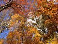 2014-10-30 13 16 29 Trees during autumn in the woodlands along the West Branch Shabakunk Creek in Ewing, New Jersey.JPG