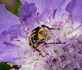 2014.06.15.-04-Eilenburg Ost--Pinselkaefer-Trichius gallicus.jpg