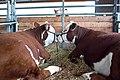 2014 Iowa State Fair (14693341607).jpg