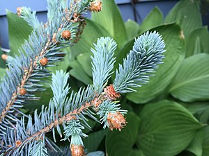 Blue spruce - 'Mission Blue' blue spruce new growth in spring
