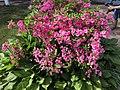 2015-05-20 16 52 44 'Rosebud' Azalea blooming along Terrace Boulevard in Ewing, New Jersey.jpg