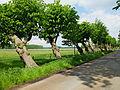 2015-05 ND Schiefe-Lindenallee Alt-Barenaue 02.jpg