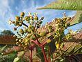 20160627Parthenocissus quinquefolia2.jpg
