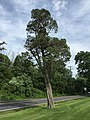 2017-05-29 16 35 02 Mature Eastern Red Cedar along Lees Corner Road (Virginia State Secondary Route 645) at Centreville Road (Virginia State Secondary Route 657) in Chantilly, Fairfax County, Virginia.jpg
