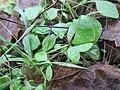 20171130Claytonia perfoliata1.jpg