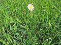 2018-05-13 (170) Asteraceae (aster) at Bichlhäusl in Frankenfels, Austria.jpg