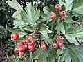 2018-08-26 Berries on a Hawthorn bush (Crataegus monogyna), Trimingham (1).JPG